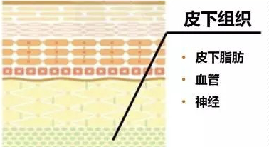 皮肤组织结构图解