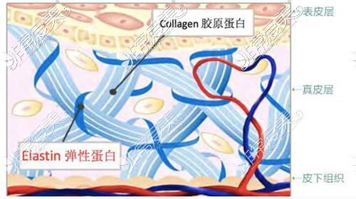 真皮层内弹性蛋白和胶原蛋白
